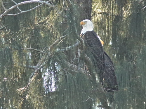 Bald Eagles after copulating 06-20191126