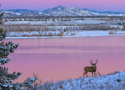 deer animal animals antlers lake pink sky reflections rockies rockymountains dawn sunrise daybreak landscape colorado lakechatfield chatfieldstatepark winter snow buck