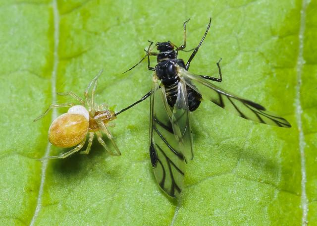 Mesh-web Weaver & Prey (Dictynidae) 109h-4315