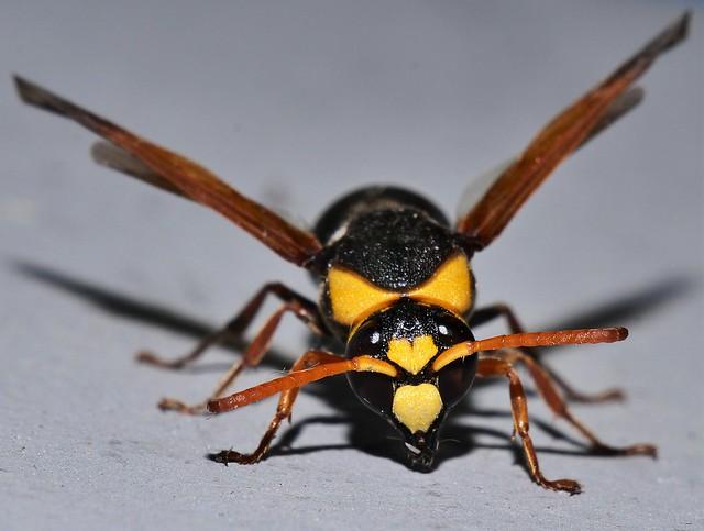 Firey tail mud Potter Wasp Rhynchium sp Eumeninae Vespidae attracted to night light Mandalay Rainforest Airlie Beach P1088726