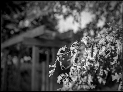 leaves driedleaves autumn gate blueridgeavenue asheville northcarolina mamiya645pro mamiyasekor80mmf28 mamiyaprime primelens 120 120film film 645 mediumformat monochrome monochromatic blackandwhite analog landscape