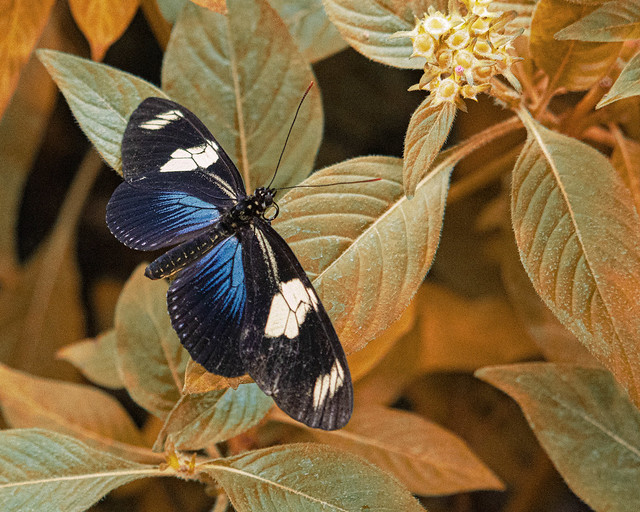 Doris Longwing Butterfly in the Pavilion