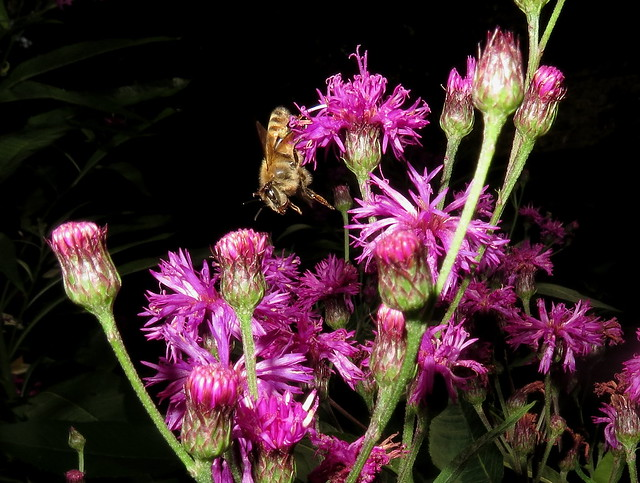Honey Bee In Flight To Tall Ironweed Flowers IMG_9489