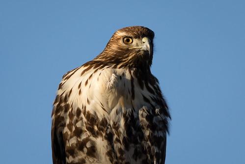 redtailedhawk buteojamaicensis raptor hawk tylercreek jacksoncounty oregon usa markheatherington roguevalley