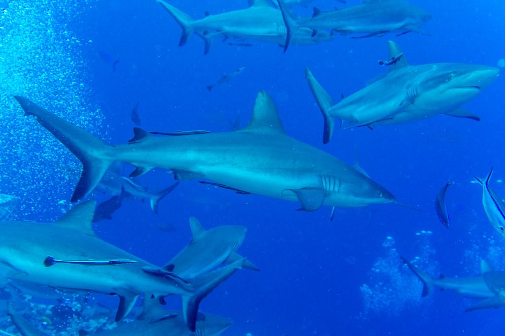 Shark feeding frenzy (2)