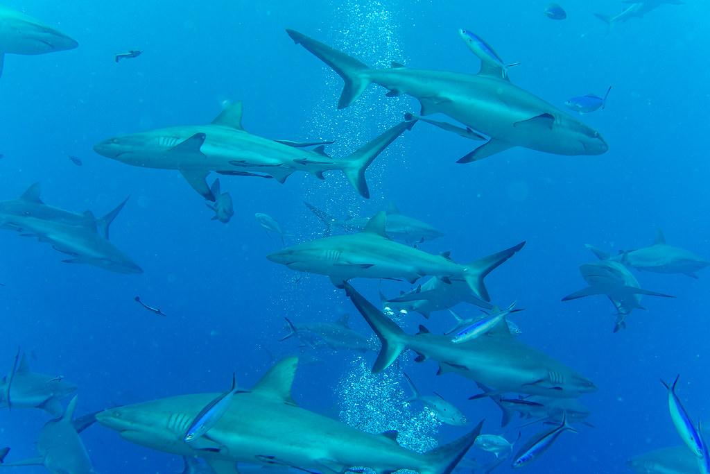 Shark feeding frenzy (1)