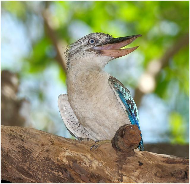 Blue Winged Kookaburra - Fogg Dam Conservation Reserve, Middle Point, NT, Australia
