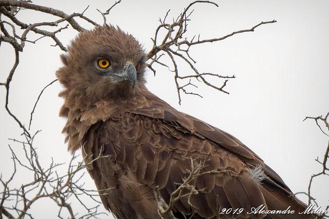 Circaète brun - Brown snake eagle