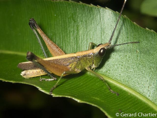Phlaeoba antennata