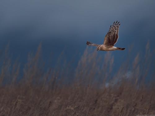 Busard Saint-Martin (Circus cyaneus) - Hen Harrier