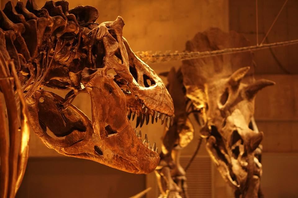 ティラノVSトリケラトプス