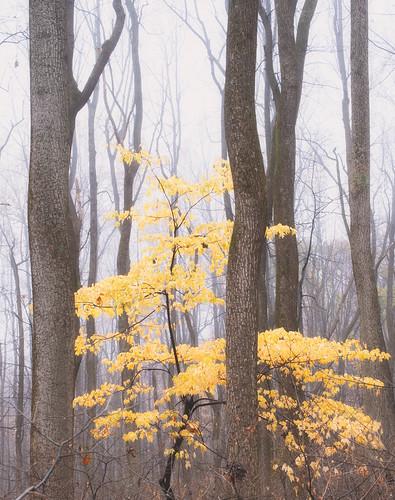 autumn forest mist fog nature shenandoahnationalpark trees yellow leaves woods sperryville virginia unitedstatesofamerica intimatelandscape