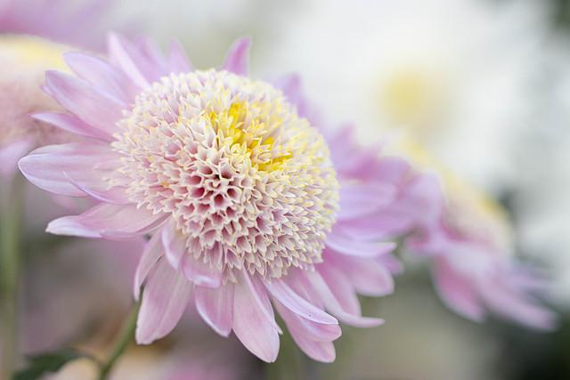 Anemone Chrysanthemum 'Purple Light'