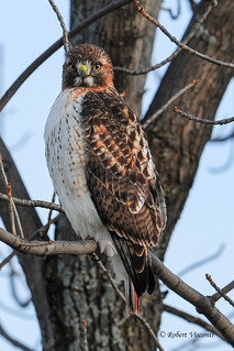 Red-tailed hawk - Lake County, IL