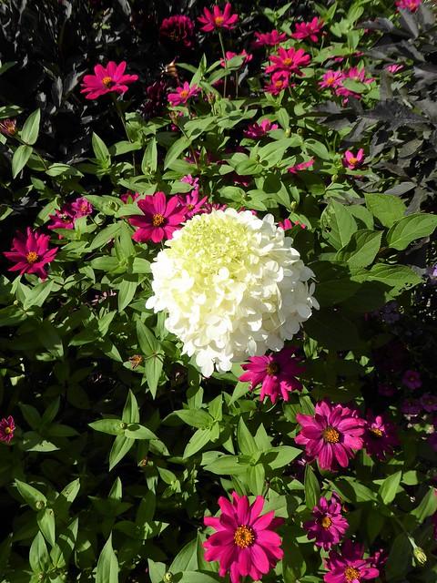 Lisle, IL, Morton Arboretum, White Flower Plus Red Zinnias