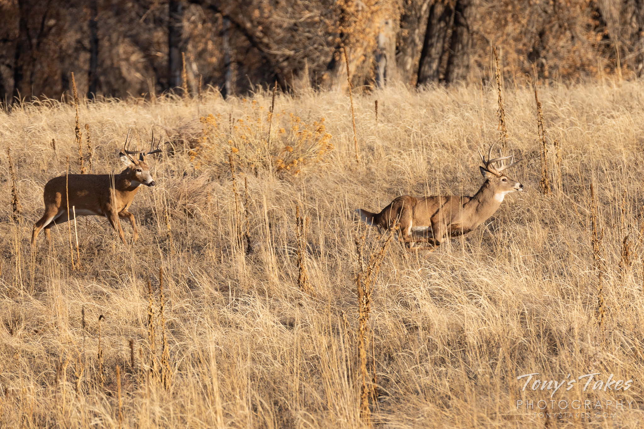 One white-tailed deer buck chases off another during the annual rut. (© Tony's Takes)