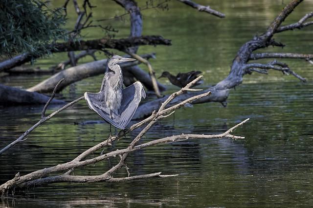 Zen-Grauhreiher - Zen-Gray Heron -  - Ardea cinerea - 9