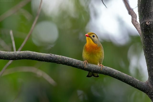 red-billed-leiothrix
