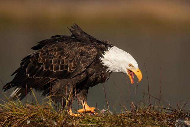 Feasting on Salmon - American Bald Eagle Style