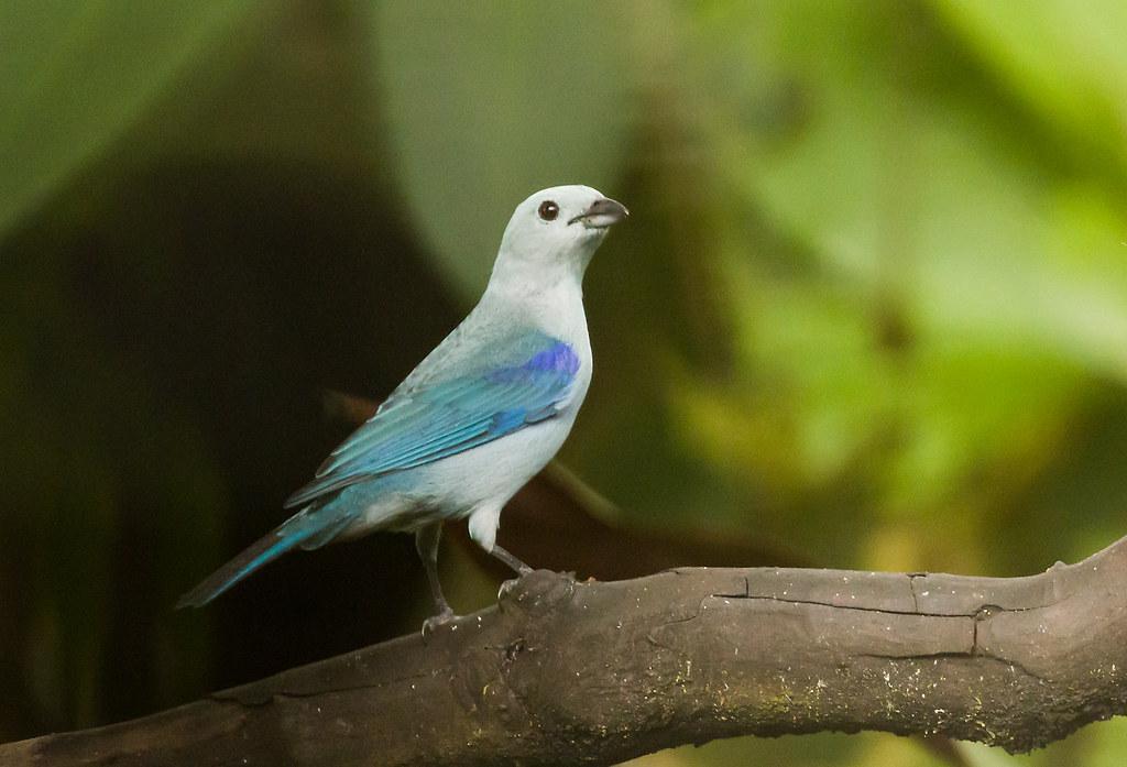 0P7A1117  Blue-gray Tanager , Ecuador