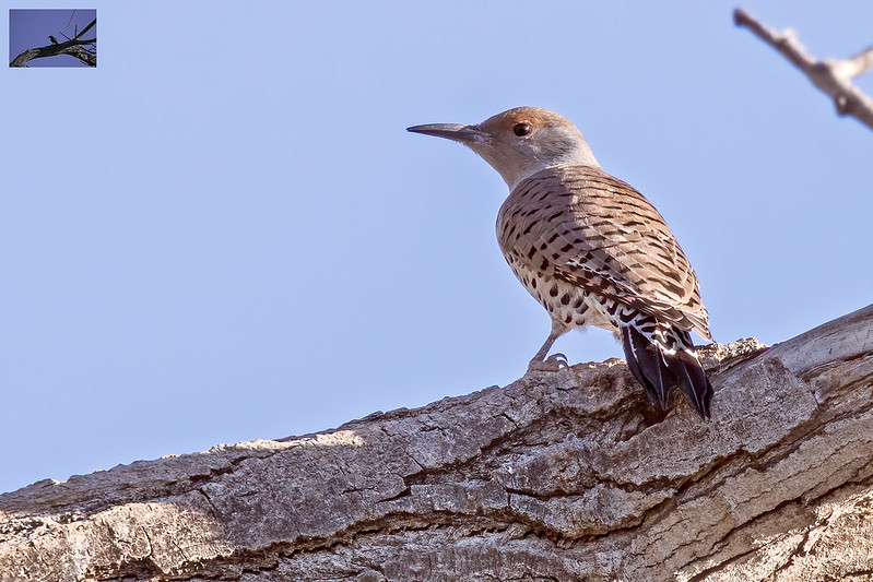 Northern-Flicker-23-7D2-101919