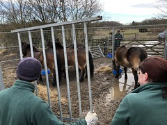 Moving Exmoor Ponies