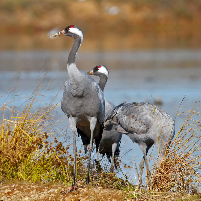 Grulla común (Grus grus) Common crane