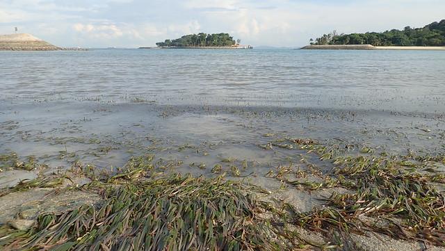 Smooth ribbon seagrass (Cymodocea rotundata)