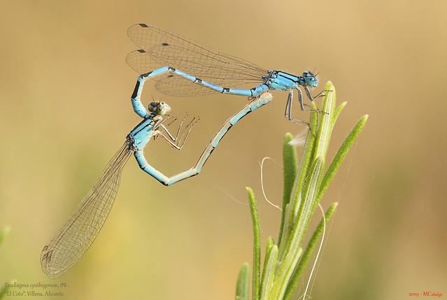 104– Enallagma cyathigerum, ♂♀.