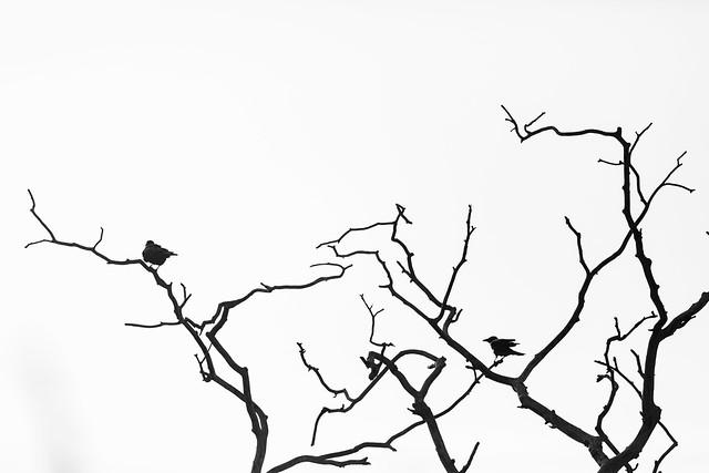 Muir of Ord Crows