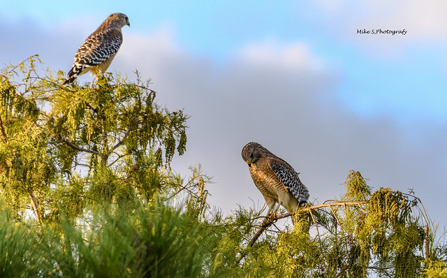 Red-shouldered hawk(male and female)