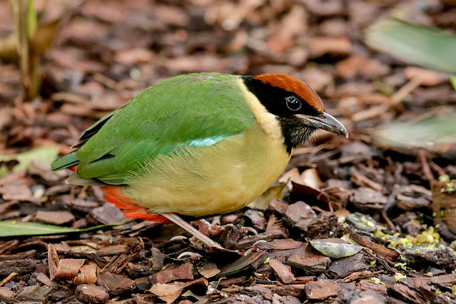 Little Pitta
