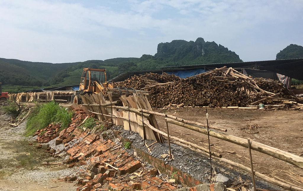 採伐的桉樹立即就被劈好了。- 透視中國