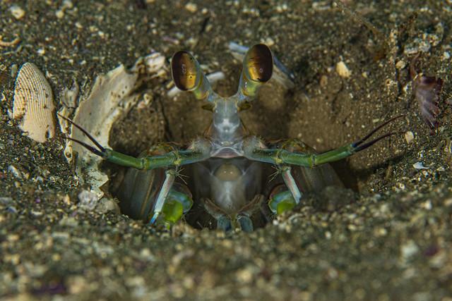 mantisshrimp1Nov16-19