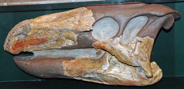 Theiophytalia kerri (ornithopod dinosaur skull) (Purgatoire Formation, Lower Cretaceous; Garden of the Gods, Colorado Springs, Colorado, USA) 2