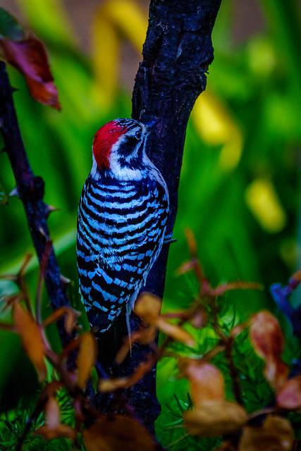Red Headed Woodpecker in EXPLORE