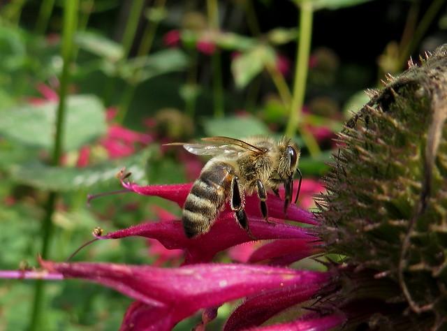 Honey Bee Feeding On A Red Bee Balm Flower IMG_2853