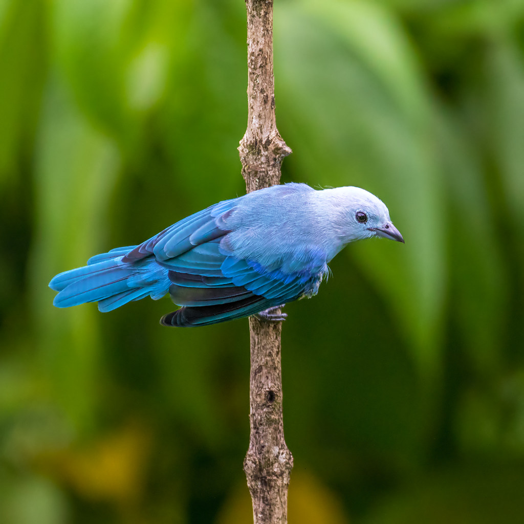 Trinidad: Blue-grey Tanager