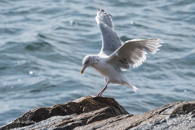 Juvenile Ring-billed Gull? 502_1670.jpg