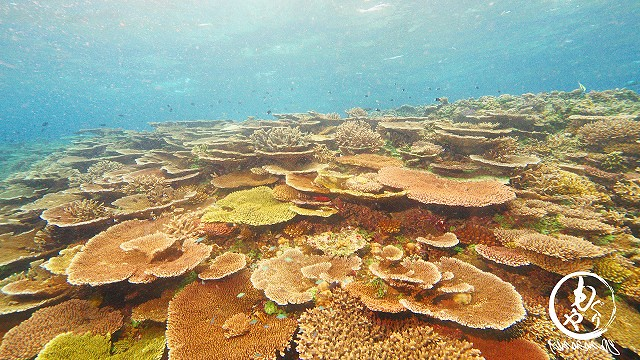 浅い根頭(3mくらい?)はすごい珊瑚でした