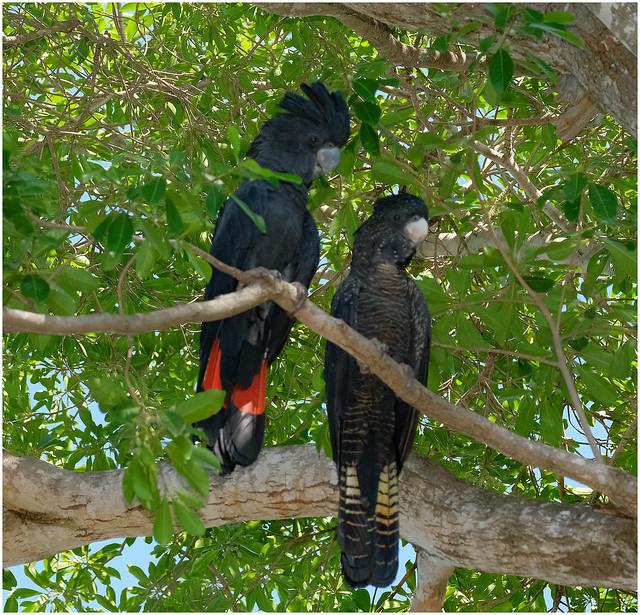 Red Tailed Black Cockatoos - Home Garden, Darwin, NT, Australia (male left)