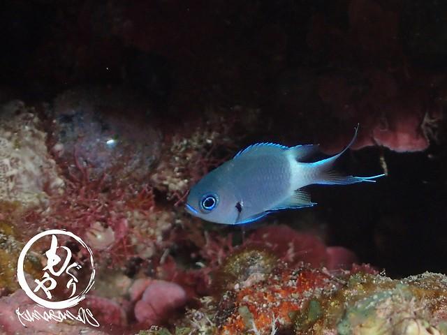 尾びれ美しいシコクスズメダイ幼魚。