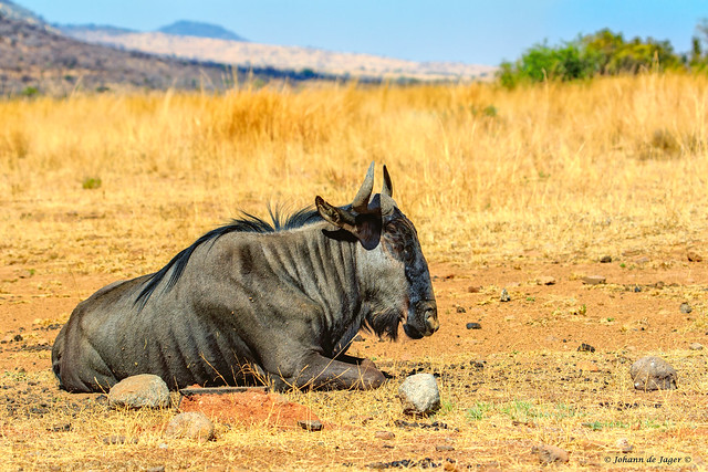 Blue Wildebeest taking some time out