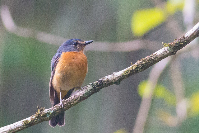 Sulawesi Blue Flycatcher
