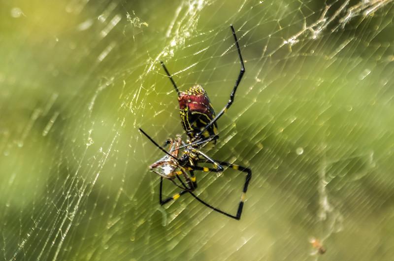 蜘蛛 (2)
