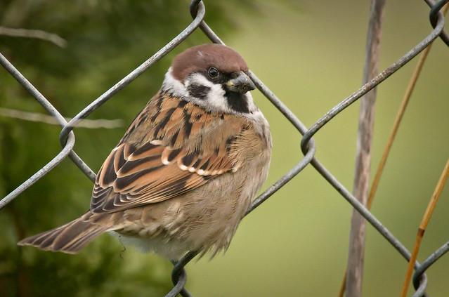 Fenced sparrow