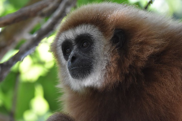 Lar gibbon Hylobates lar explored