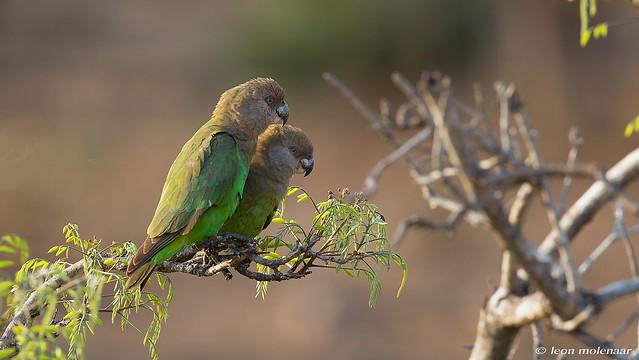 Brown-headed Parrot pair
