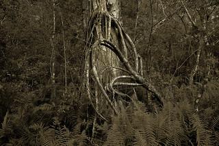 Everglade Strangler