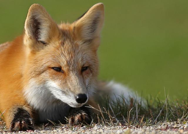 Red Fox...#71